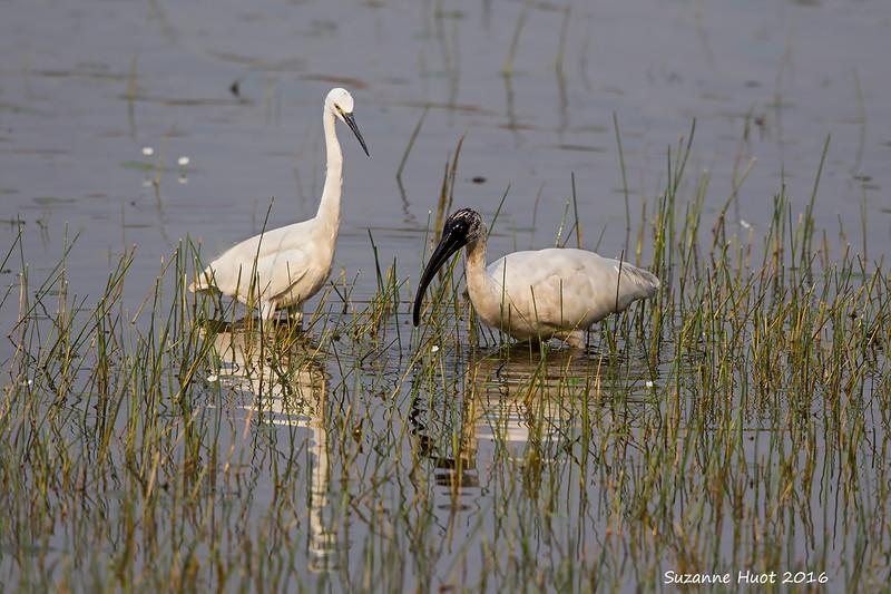 Intermediate Egret and Black-headed Ibis