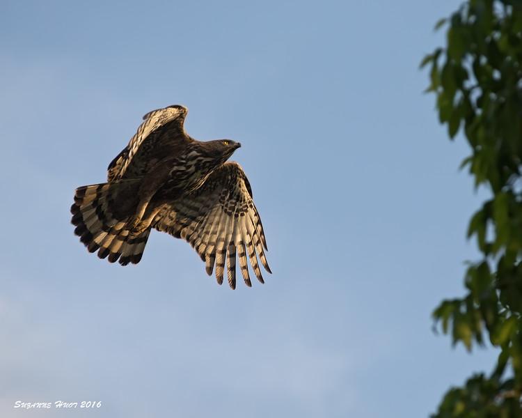 Honey Buzzard in flight