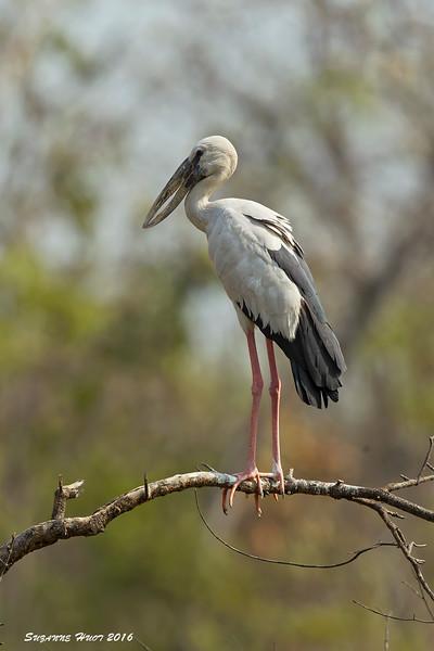 Open-bill Stork.