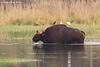 Gaur or Indian bison
