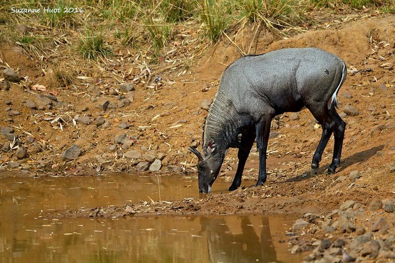 Thirsty Blue bull.
