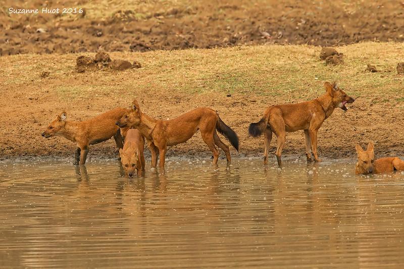 Asiatic Wild Dog pack
