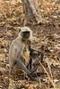 Langur monkey with infant