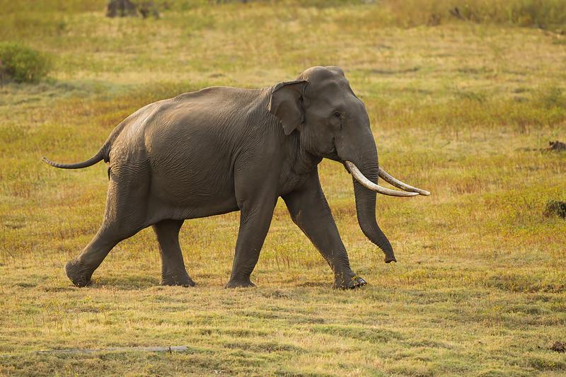 Tusker .  Male Indian Elephant