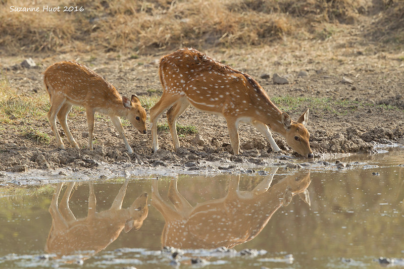 spotted Deer with Fawn