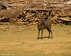 Sambar Deer Love water.