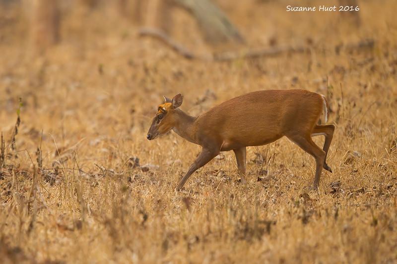 Muntjac or Barking Deer