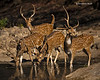 Chittal or Spotted Deer