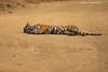Let sleeping Tigers lay