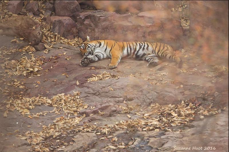 Tigress with Kill