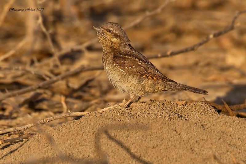 Eurasian Wryneck .  a small sparrow sized member of the woodpecker family ,living and foraging mostly on the ground .