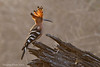 Common Hoopoe..