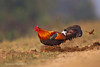 Red Jungle-Fowl .The original Chicken.