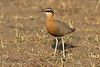 Indian Courser.
