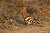 Hoopoe bird.