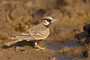 Ashy-Crowned Sparrow Lark .