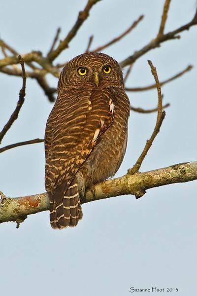 Jungle Owlet.