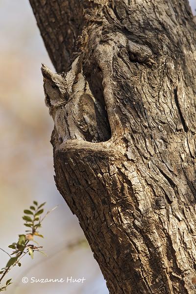 Collared Scop's  Owl