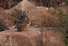 Eurasian Eagle-Owl.