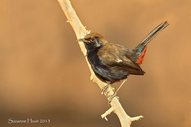 Black Redstart.