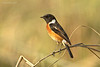 Common Stonechat.