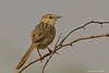Striated Babbler.