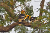 Great Hornbill pair . One of the largest of tree dwelling birds .
