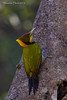 Greater Yellownape woodpecker .
