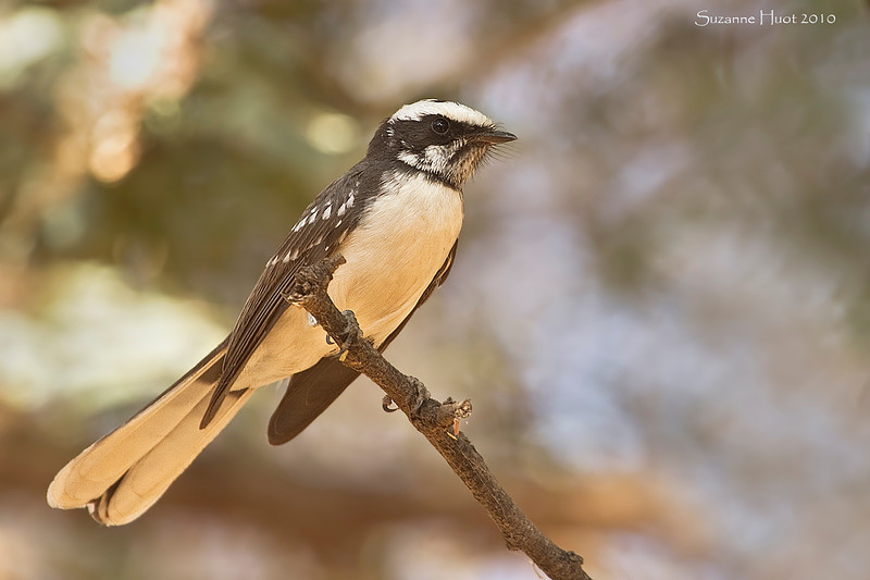 White-Browed Fantail.