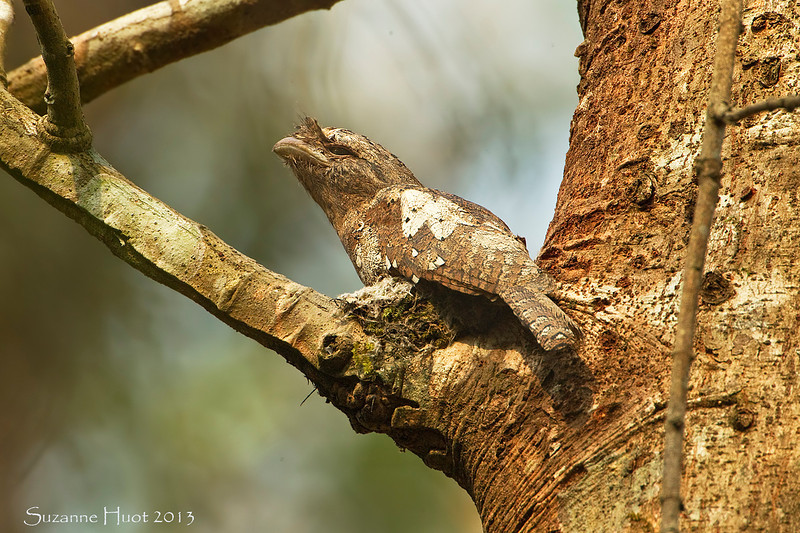 Sri Lanka Frogmouth sitting on nest.,Male.<br /> Note how well camouflaged he is ,with feathers looking very much like the bark of the tree.