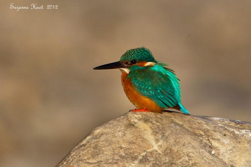 Common Kingfisher.
