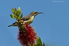 Purple Sunbird,Female.