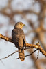 Common Hawk Cuckoo .
