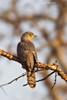 Common Hawk Cuckoo .