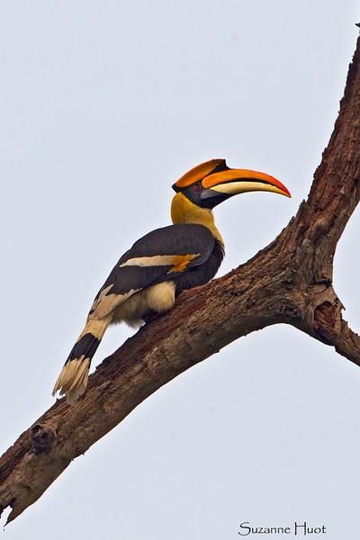 Great Hornbill .