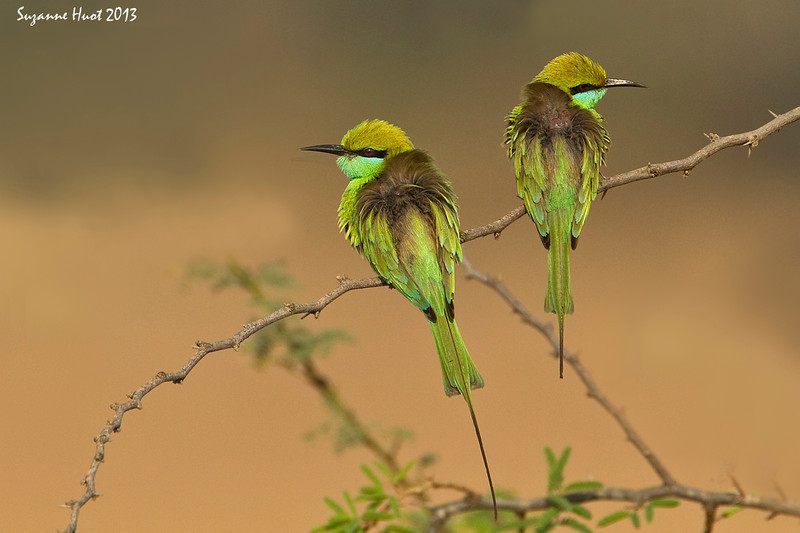 Pair of windswept Green Beeaters.