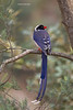 Red-Billed Blue Magpie.