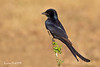 Black Drongo perched and ready to snatch any flying insect passing by .