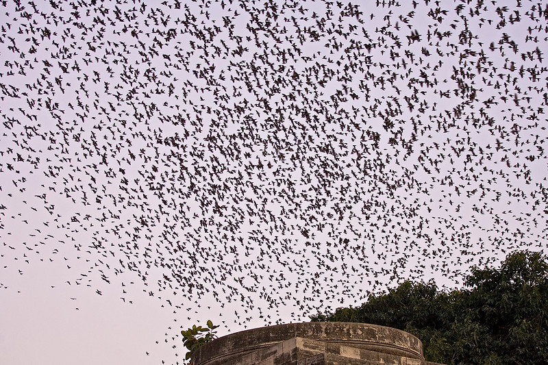Rosy Starlings flocking before roosting for the night in the trees around the lake.