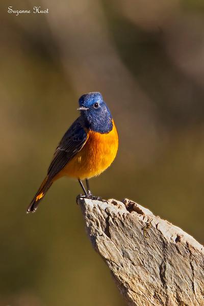 Blue -Fronted Redstart .