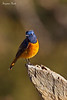 Blue -Fronted Redstart .