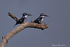Pied Kingfisher Pair .