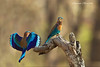 Indian Roller ,male and female