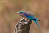 Indian Roller with attitude .