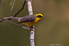 Yellow-Bellied Fantail ..