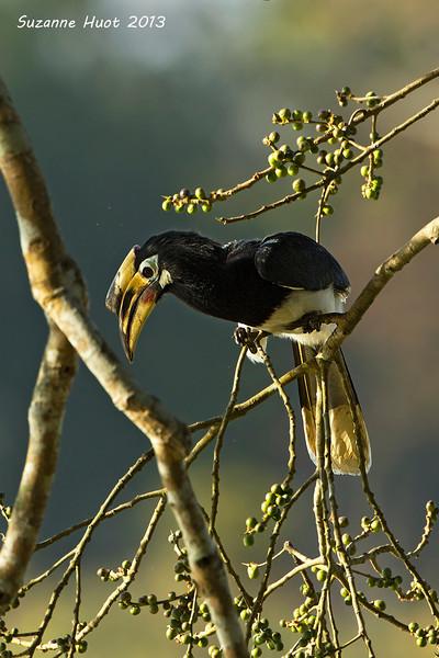 Great Hornbill.