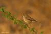 Syke's warbler