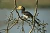 Great Hornbill in fig Tree.