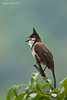 Happy little Red-Vented Bulbul singing his song .