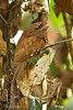 Sri Lanka Frogmouth,Female. The Frogmouth hunts at night and during the day sits very still amongst the dead hanging leaves of a tree .She is so well disguised that it is very difficult to even spot her.,even then she will remain motionless hoping not to be seen<br /> .80% of all Frogmouths live in one small forest in the state of Kerala ,India..